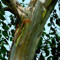 Eucalyptus stagierana